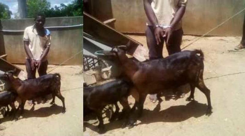 Goat Arrest