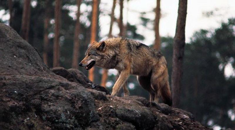 Media Wolf